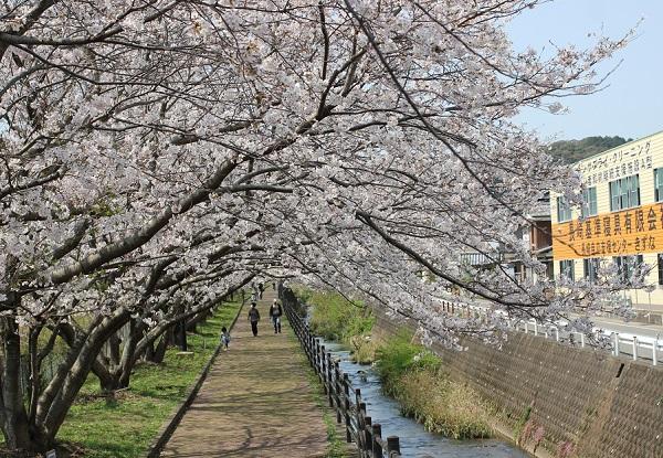 高田駅付近線路脇の桜並木の写真(小道と桜、川)