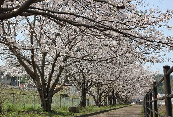 高田駅付近線路脇の桜並木の写真(桜のトンネル)