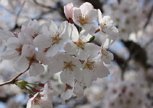 高田駅付近線路脇の桜(アップ写真)