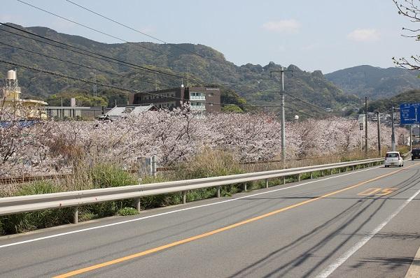 高田駅付近線路脇の桜並木の写真(道路と桜並木)