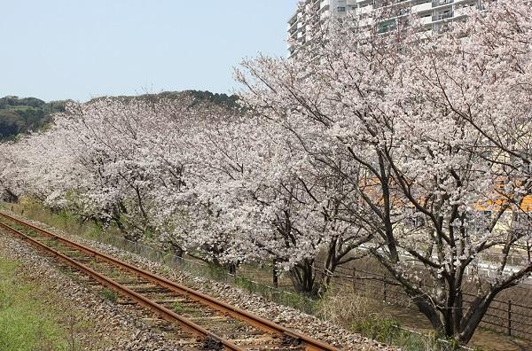 高田駅付近線路脇の桜並木の写真(線路と桜並木)