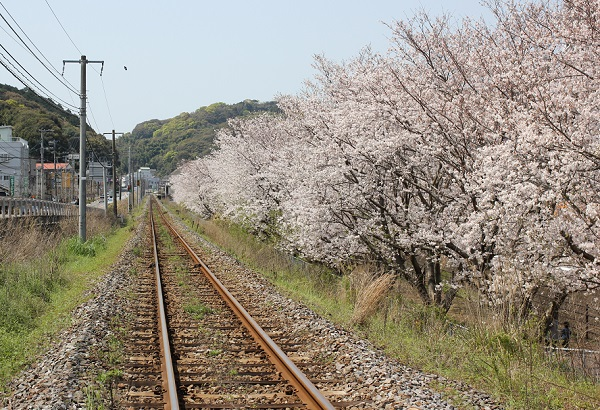 JR高田駅付近、線路脇に植えられてる満開の桜と線路の写真