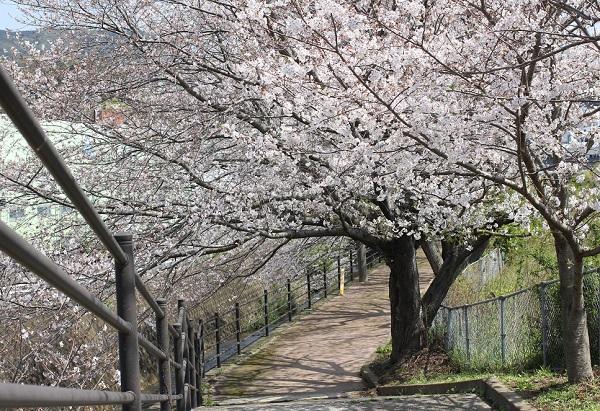 高田駅付近線路脇の桜並木の写真(しもこうだばしから反対側の小道と桜のトンネル)