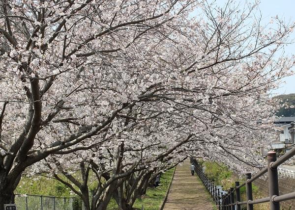 高田駅付近線路脇の桜並木の写真(小道と桜のトンネル)