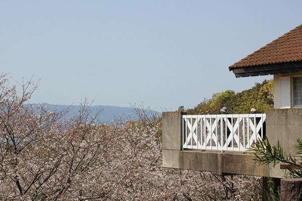崎野自然公園、管理棟のテラスとたくさん咲いてる桜の写真