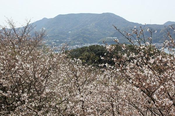崎野自然公園、管理棟からの景色、満開のソメイヨシノと山、時津の街並み写真