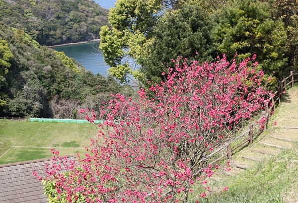 崎野自然公園、草スキー場の脇に咲いてる満開の花桃の写真