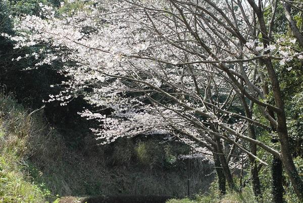 崎野自然公園、道脇の桜とキャンプ場へ続く道の写真