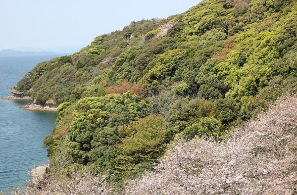 崎野自然公園、海と半島、満開の桜の美しい写真