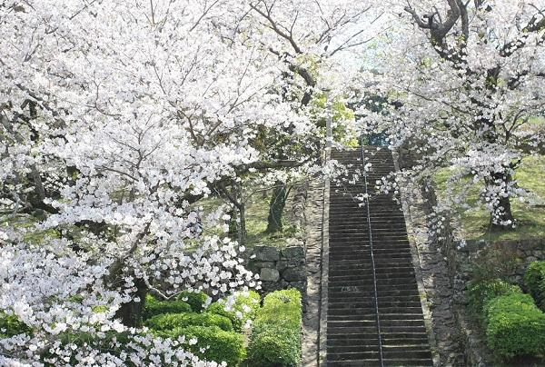 大村護国神社、境内に続く長い階段と満開の桜の写真