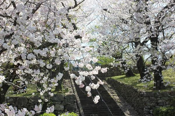 大村護国神社、境内に続く長い階段と美しい桜の写真