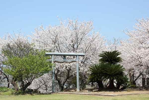 大村護国神社の境内に咲く桜と鳥居の写真