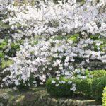大村護国神社を彩る満開の桜の写真