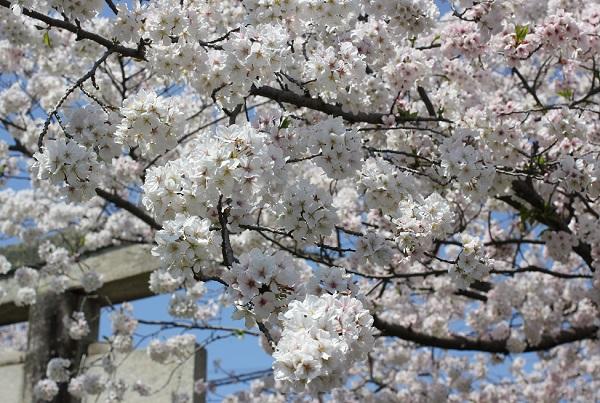 大村護国神社の満開の桜と鳥居の写真
