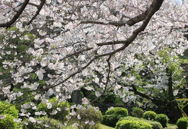 大村護国神社の桜と庭園の写真