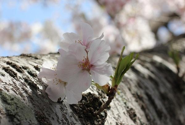 大村護国神社、幹から飛び出してる桜の花のアップ写真