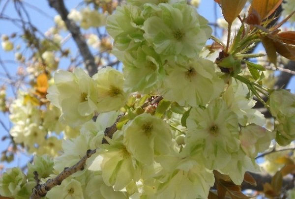 ウコンザクラ(鬱金桜)が綺麗に咲いてる様子の写真