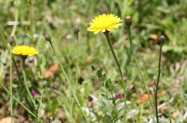野原に咲いてるブタナの様子の写真
