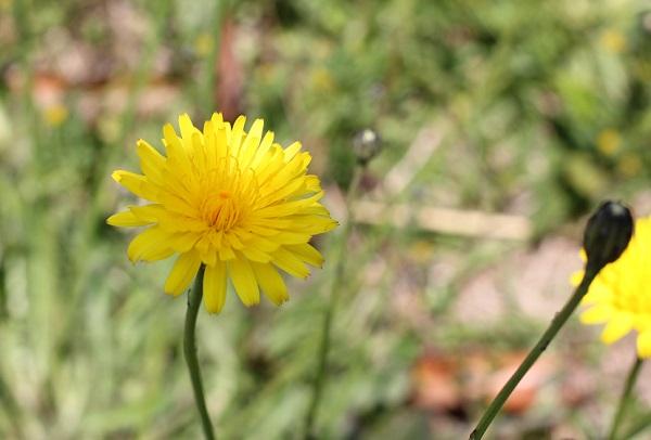 ブタナの花の写真
