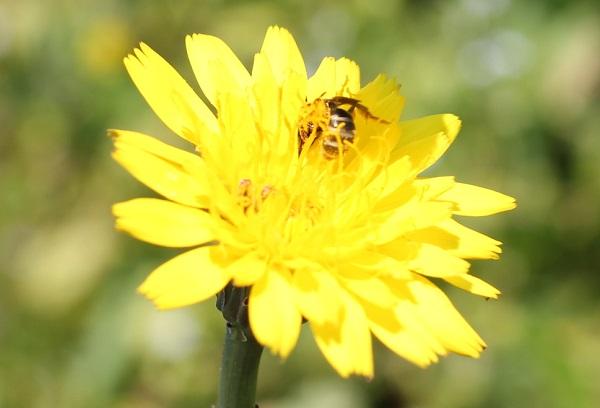 ブタナの花のアップ写真