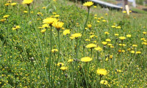 野原に咲いてるブタナの群生