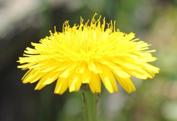 満開に開いたブタナの花のアップ写真