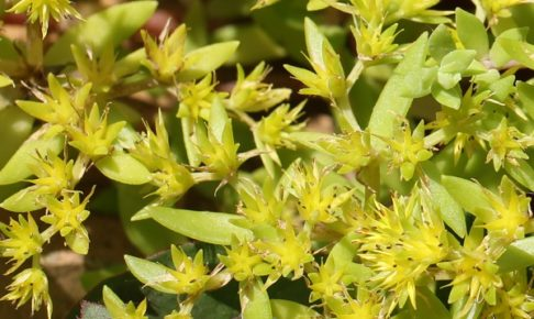 ツルマンネングサの花