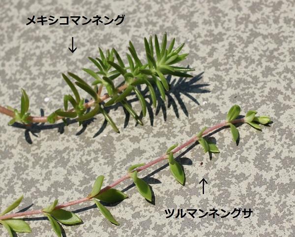 メキシコマンネングサの葉、ツルマンネングサの葉の比較写真
