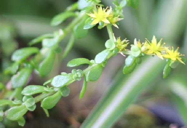 庭のメダカ池近くで咲いたマルバマンネングサ、花と葉の写真