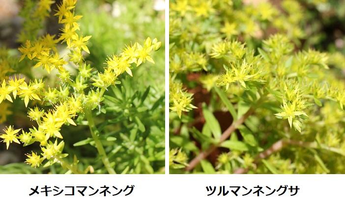 メキシコマンネングサとツルマンネングサの花、比較写真