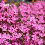 シレネの花畑