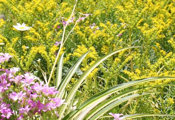 庭のメキシコマンネングサ、黄色い花が咲き乱れる様子
