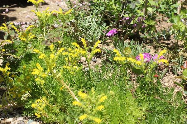 花壇の縁取り、メキシコマンネングサが咲いてる様子の写真