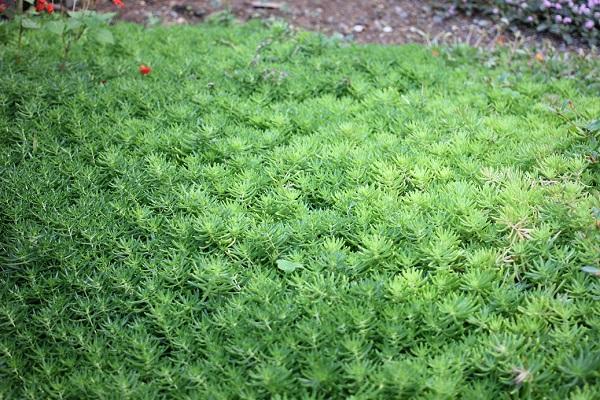 冬のメキシコマンネングサ、緑のカーペットのよう。