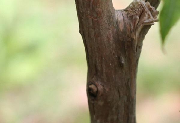 ネジキの幹の写真