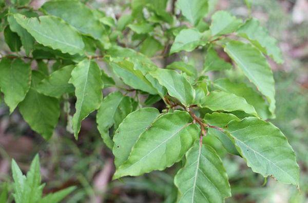 ネジキの葉の写真