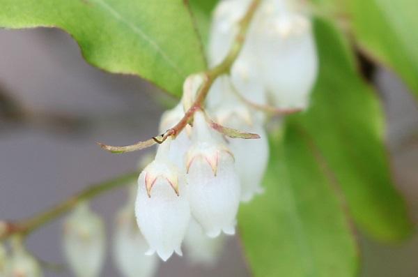 ネジキの花のアップ写真