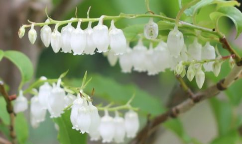 ネジキの花の写真
