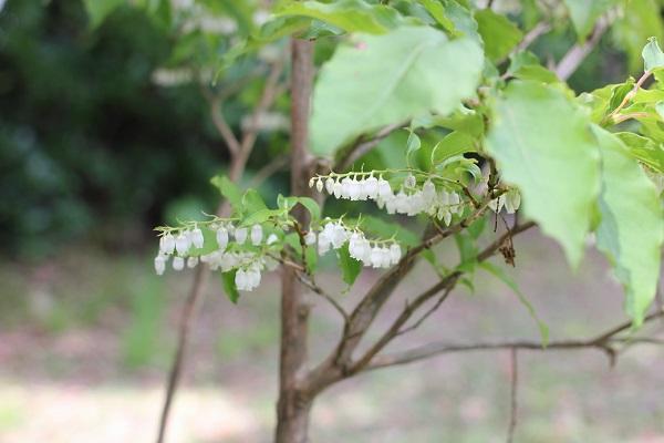 花が咲いているネジキの木の写真