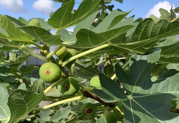 イチジクの木 実が実った写真