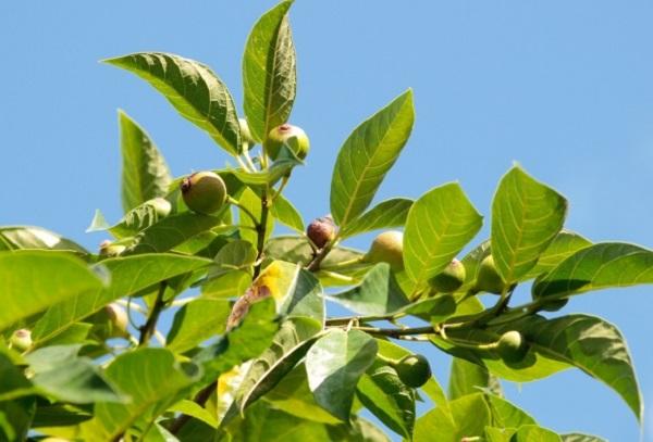 イヌビワの木、実が実った写真