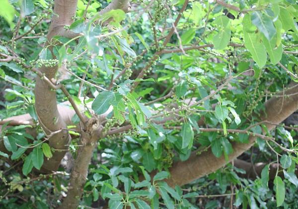 アコウの木に実が実ってる様子の写真