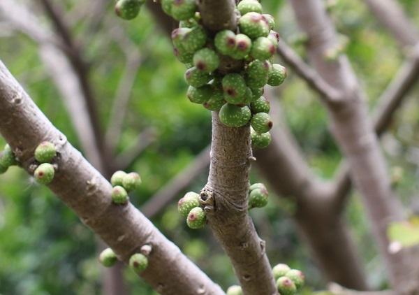 枝についてるアコウの実の写真