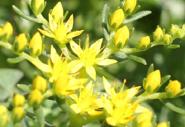 メキシコマンネングサの花のアップ写真