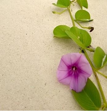 砂浜に咲くグンバイヒルガオの花と葉の写真