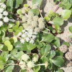 砂浜のハマボウフウ(花や果実の様子)