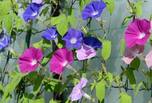 色んな色のアサガオが咲いてる様子の写真