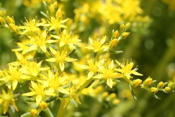 メキシコマンネングサの花の写真