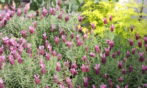 大きく育った花壇のフレンチラベンダー