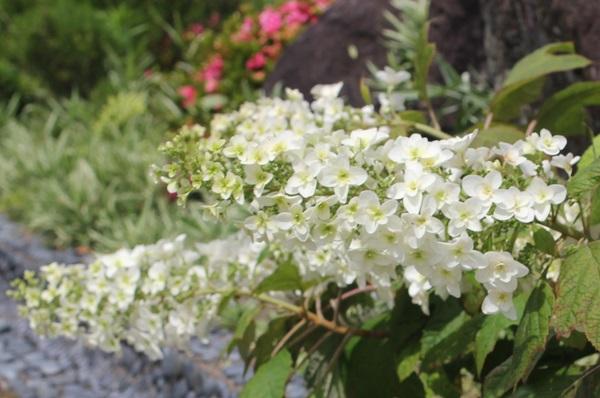 初夏に咲いたカシワバアジサイの写真